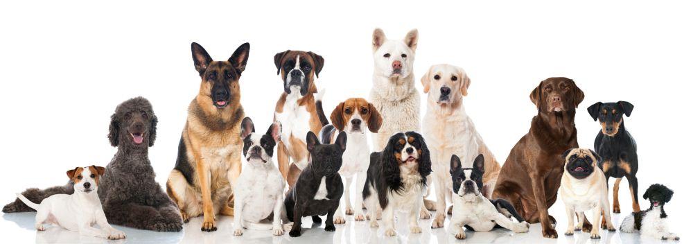 Die Lebenserwartung vom Beagle im Vergleich mit anderen Hunderassen
