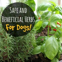 Safe and Beneficial Herbs for Dogs