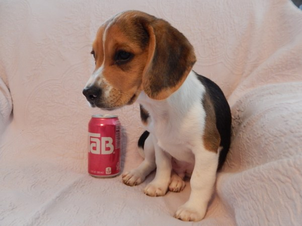 Pocket Beagles Dogs Puppies