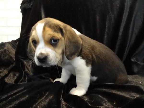 Mini Pocket Beagle Puppies