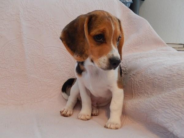 Miniature Pocket Beagle Puppy