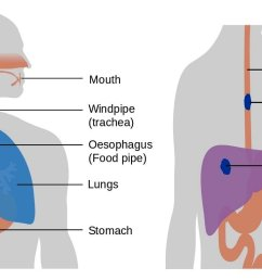 diagram of the esophagu and trachea [ 1462 x 768 Pixel ]