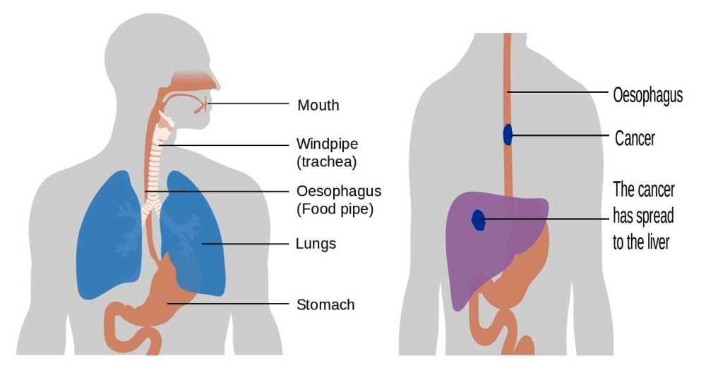 medium resolution of diagram of the esophagu and trachea