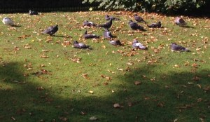 pigeon, sun, sunbathing, age of the earth