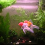 Oranda, fish, Descartes water fish example, air pressure equalisation