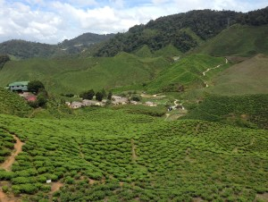 A tea plantation in the mountains of the Cameron Highlands, Malaysia. But how high would you need to climb in order to boil water at the perfect temperature to prepare your brew?