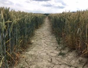 cracks in a wheat field