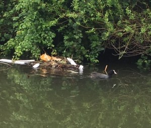 Coot nest, plastic waste, Grand Union Canal, litter, plastic pollution, effect on wildlife