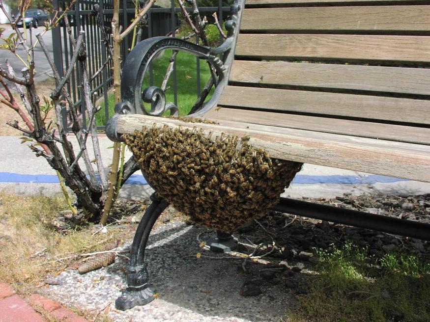 Africanized Honey Bee Swarm