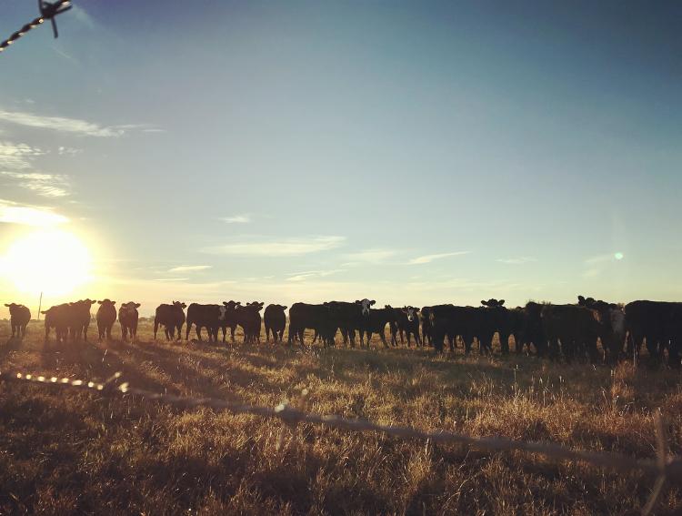 cattle in a field at sunrise