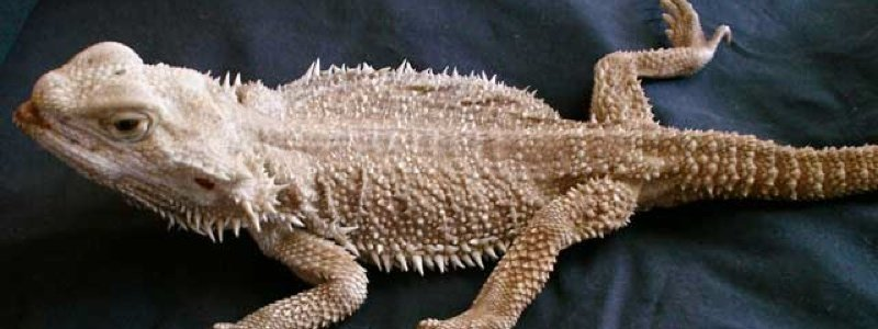 How to Prevent Metabolic Bone Disease in Bearded Dragons