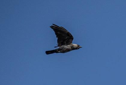 200521-150853-crow-1D8A7542