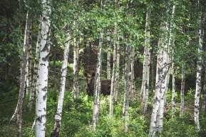 200713-163356-moose-1D8A5775