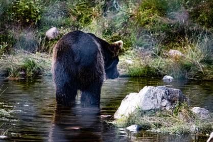 200723-160959-orsa-bear-1D8A7914