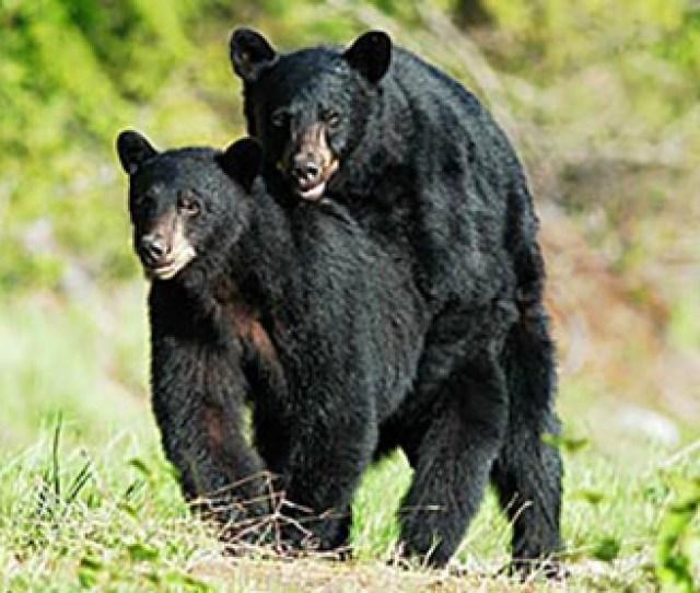 Black Bears Mating