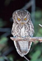 schreech_owl_250x365