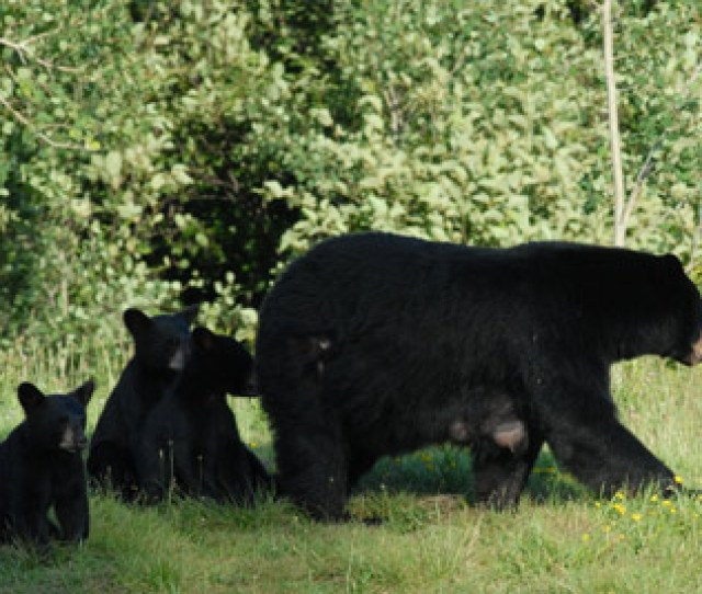 Cubs Taste What Their Mothers Eat In The Month After Emerging From Dens But They Do Not Begin Eating Solid Food Until Their Chewing Teeth Erupt Later In