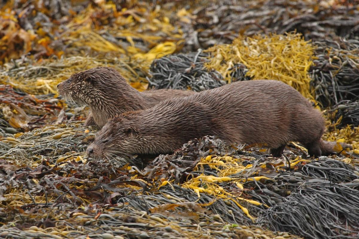 Two otters in seaweed (sideways view)