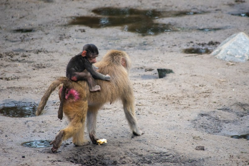 Baby baboon on Mama's back at DierenPark Amersfoort by Beatrice Murch