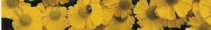 cropped-chartwell-helenium.jpg