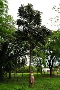 Brazil mahogany tree