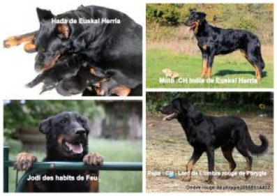 Parents des chiots 2018