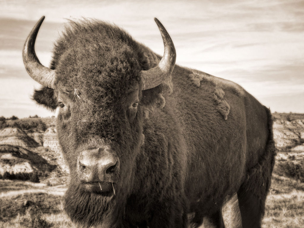 Beautiful Badlands ND hangs out with a lot of big critters and you can see them on the website, such as this bison stands facing the camera in the Badlands of North Dakota.