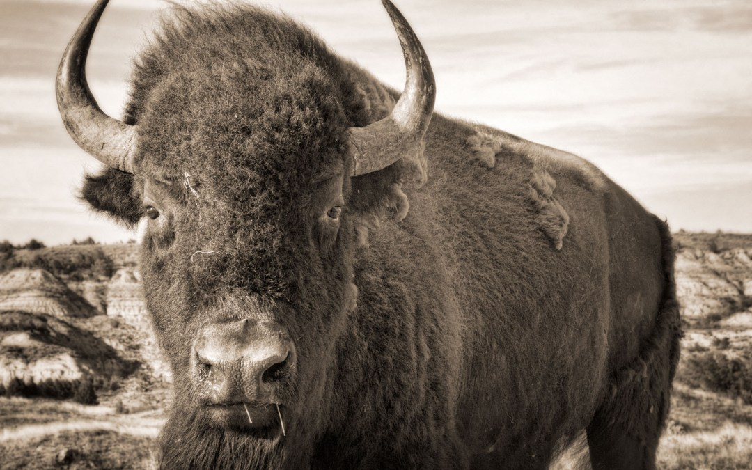 A bison stands facing the camera in the Badlands of North Dakota.