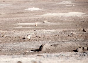 A prairie dog sits at the entrance to his burrow.