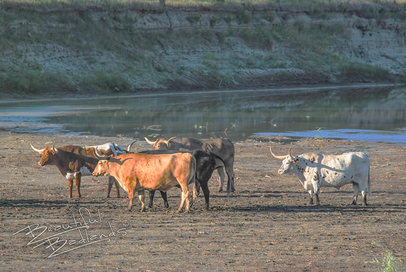 Longhorns make it to the TR Park — A short history of longhorns on the Long X Trail, part 3