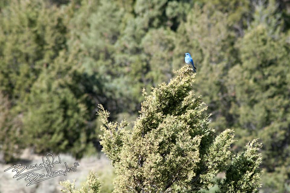 snapshot saturday bluebird in evergreen tree