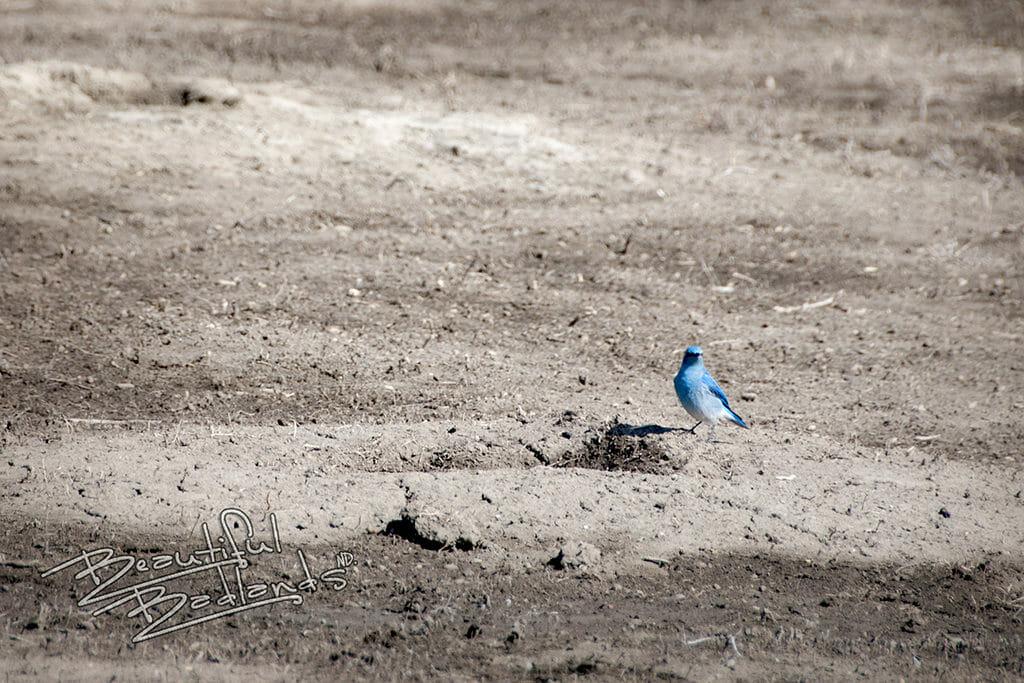 Why bluebirds are so encouraging. snapshot saturday bluebird badlands