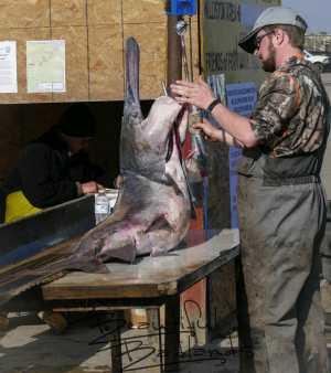 Measuring the length of paddlefish in North Dakota