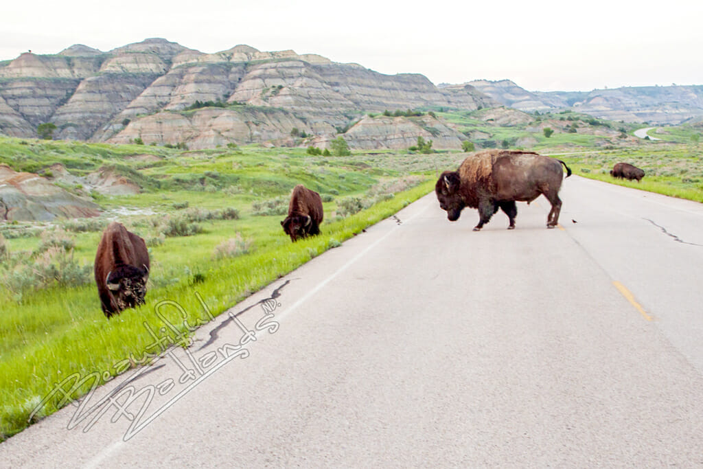 Bison and Longhorns