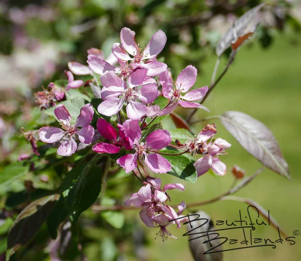 crab apple blossom dickinson garden  Secret Garden