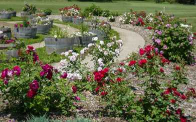 A walk through the NDSU Extension Gardens in Dickinson in June is a walk through the roses.