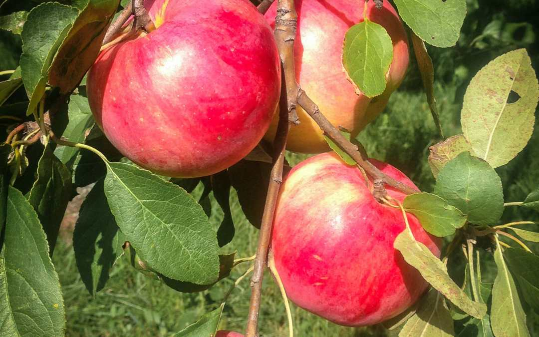 Apples.  Apples Everywhere!  Tasty Tuesday