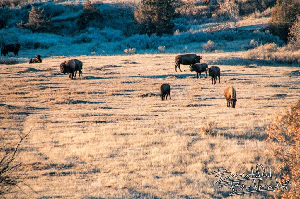 bison golden hour