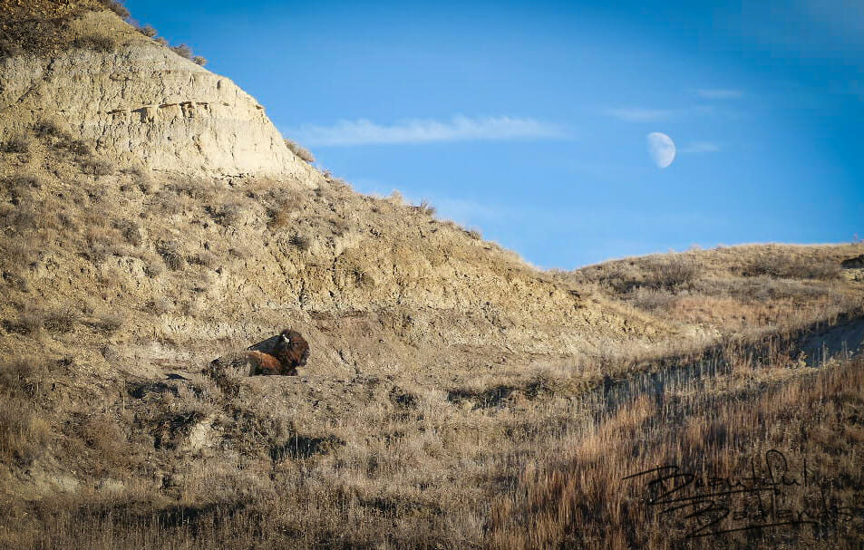 bison bull sleeping under the half moon on a warm december day