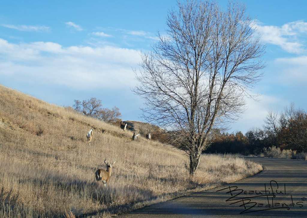 Badlands Deer, Theodore Roosevelt National Park