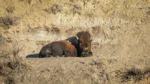 bison buffalo sun sleeping
