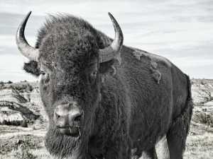 bison up close