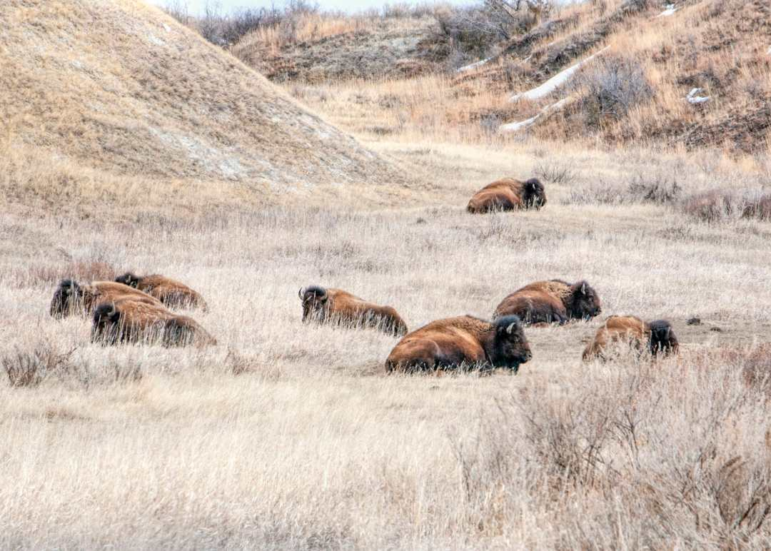 bison napping