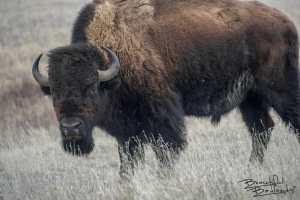 We Got This Bison's Attention! Theodore Roosevelt National Park, North Dakota