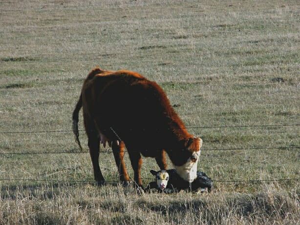 cow nudges calf