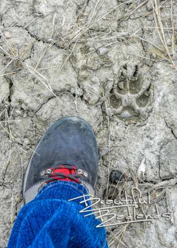 coyote track in the mud
