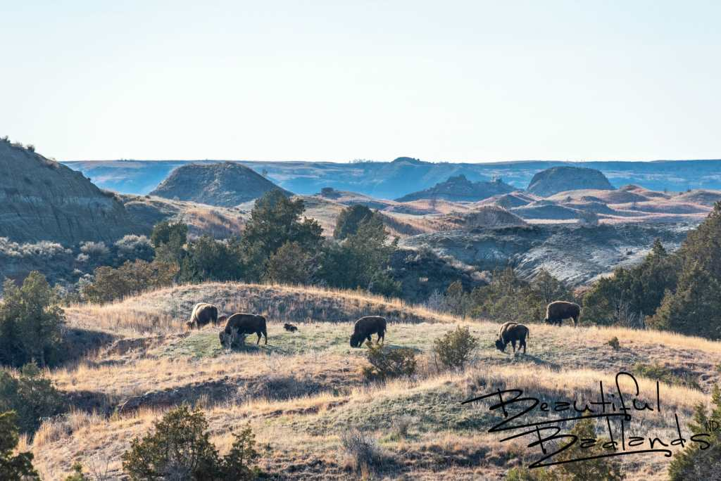Bison Herd with New Calves. April 2019 Theodore Roosevelt National Park