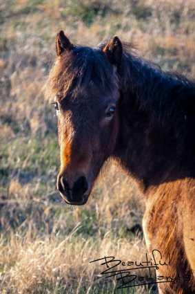 Wild Colt Sees From Afar, Theodore Roosevelt National Park, North Dakota