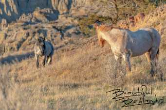 Stallion Approaches Mare, Feral Horses of Theodore Roosevelt National Park