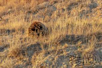 Porcupine Shuffles Away in the Golden Hour at Theodore Roosevelt National Park